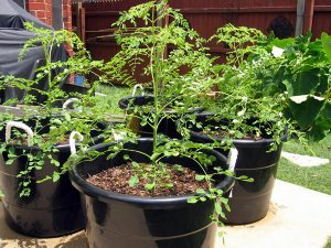 Cách trồng cây chùm ngây bằng cành