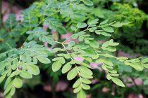 Cách trồng cây chùm ngây tại nhà từ A đến Z
