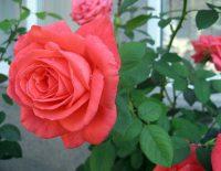 Hướng dẫn cách trồng hoa hồng bằng hạt tại nhà