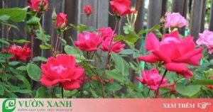 Hướng dẫn chi tiết cách trồng và chăm sóc hoa hồng tại nhà. Cách trồng hoa hồng bằng hạt cho nhiều hoa nhất đơn giản dễ làm đạt hiệu quả cao nhất.