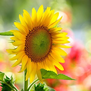 Cách trồng hoa hướng dương bằng hạt tại nhà