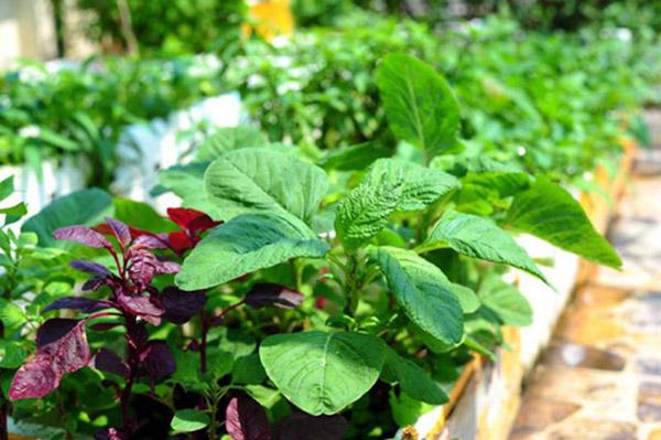 Hướng dẫn cách trồng rau dền sạch đơn giản tại nhà