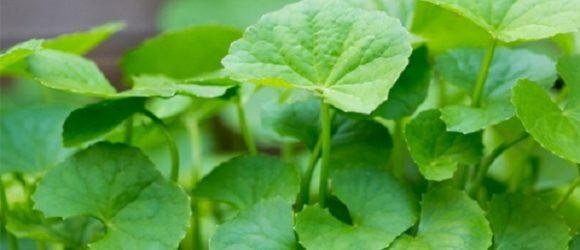 Hướng dẫn cách trồng rau má đơn giản tại nhà