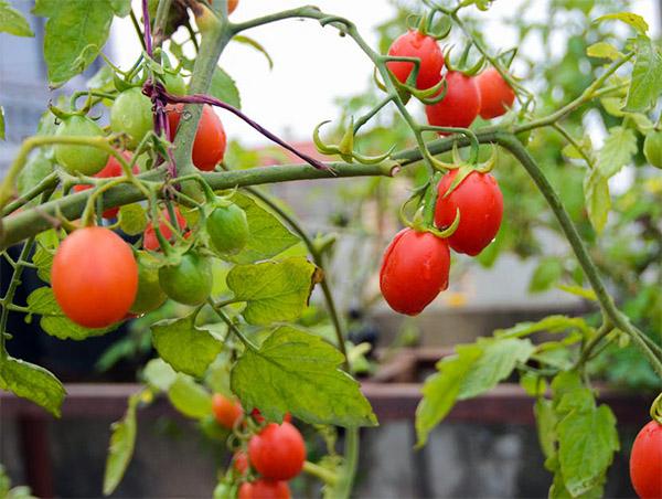 Ngắm khu vườn có 15 giống cà chua sai trĩu quả trên sân thượng