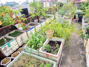 Ngắm khu vườn có 15 giống cà chua sai trĩu quả ở Hà Nội