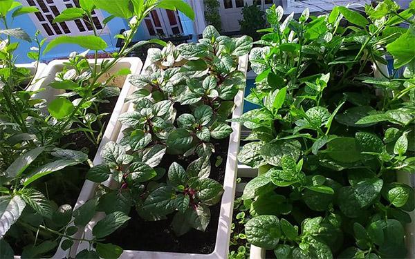 Vườn rau chỉ 8m² có tới 40 thùng rau các loại ở Sài Gòn