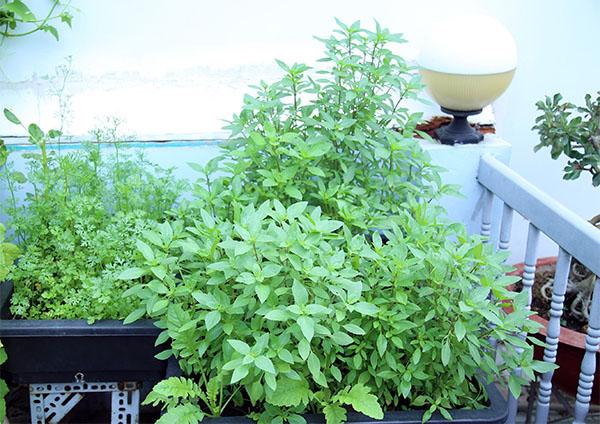 Vườn rau xanh mát trên sân thượng của nàng dâu 9x Sài Thành