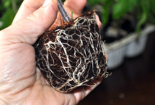 Hướng dẫn cách trồng cà chua bằng hạt tại nhà