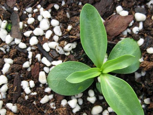 Hướng dẫn cách trồng hoa cát tường bằng hạt tại nhà
