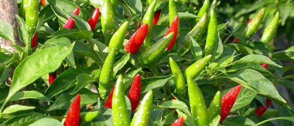Hướng dẫn chi tiết cách trồng ớt bằng hạt tại nhà