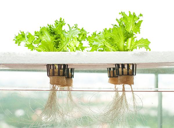 Thủy canh tĩnh là gì? Kỹ thuật trồng rau thủy canh tĩnh